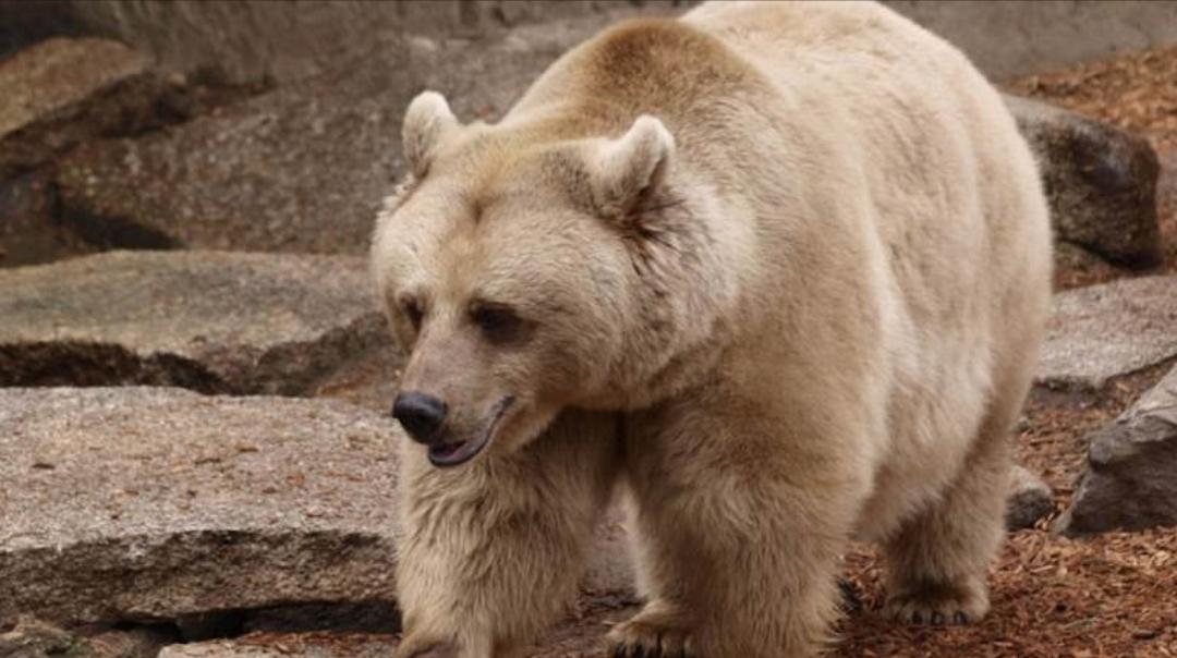 الكشف عن هوية قتلة الدب البني السوري المهدد بالانقراض